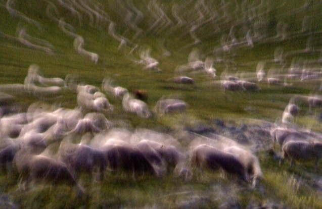 Tremblante du mouton